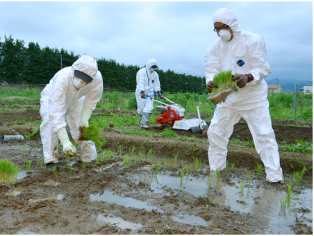 planting rice to test the soil in fukushima